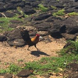 Wild chickens!